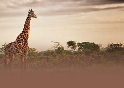 giraffe-sunrise