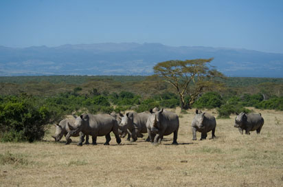 Rhinos-in-a-group-at-Solio-Ranch